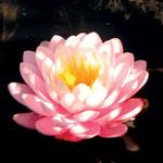 Pond Lotus